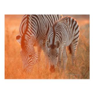 Burchell's Zebras, Equus burchelli grazing at Postcard