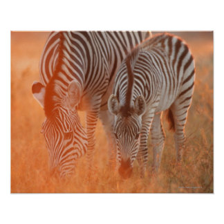 Burchell's Zebras, Equus burchelli grazing at Poster