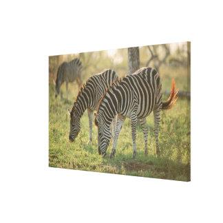 Burchell's Zebras, Equus burchelli grazing, Canvas Print