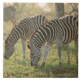 Burchell's Zebras, Equus burchelli grazing, Large Square Tile
