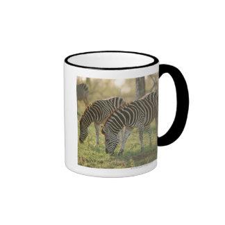 Burchell's Zebras, Equus burchelli grazing, Mug