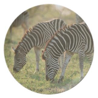 Burchell's Zebras, Equus burchelli grazing, Plates