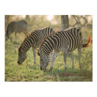 Burchell's Zebras, Equus burchelli grazing, Postcard