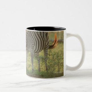 Burchell's Zebras, Equus burchelli grazing, Two-Tone Coffee Mug