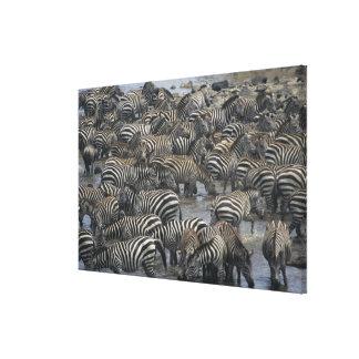Burchell's zebras (Equus burchelli), Masai Mara, Canvas Print