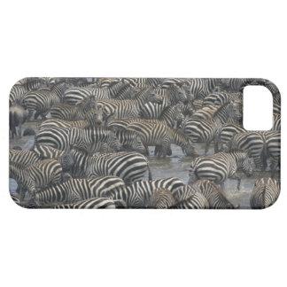 Burchell's zebras (Equus burchelli), Masai Mara, iPhone 5 Cases
