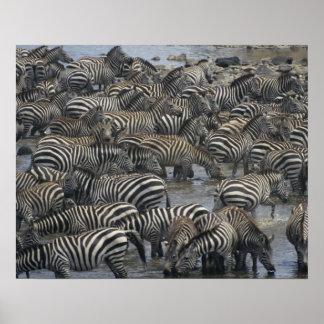 Burchell's zebras (Equus burchelli), Masai Mara, Poster