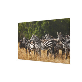 Burchell's Zebras (Equus Burchellii) as seen in Gallery Wrap Canvas