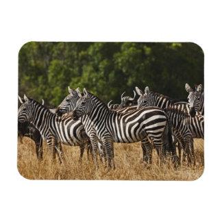 Burchell's Zebras (Equus Burchellii) as seen in Magnet