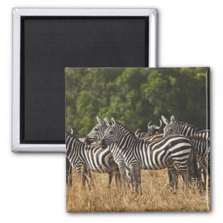 Burchell's Zebras (Equus Burchellii) as seen in Square Magnet