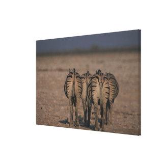 Burchell's Zebras Walking Canvas Print