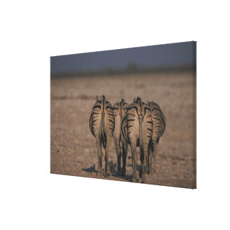 Burchell's Zebras Walking Stretched Canvas Prints