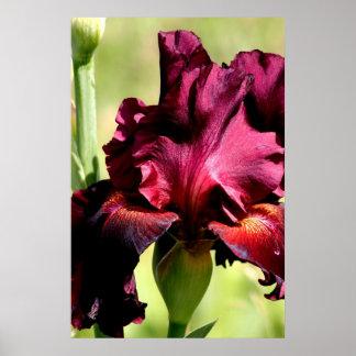 Burgundy/red Iris Poster