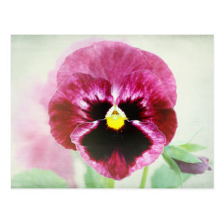 Burgundy Red Pansy Flower Postcard