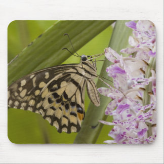 Burma Tachileik Lime buterfly Papilio Mouse Pads