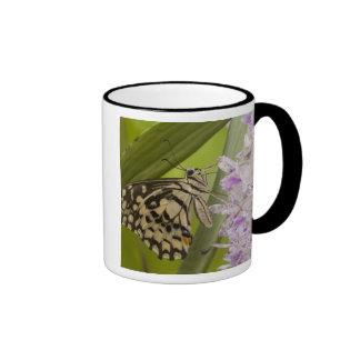 Burma, Tachileik, Lime buterfly Papilio Mugs