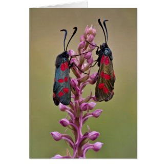Burnet Moths on Fragrant Orchid - Greeting Card