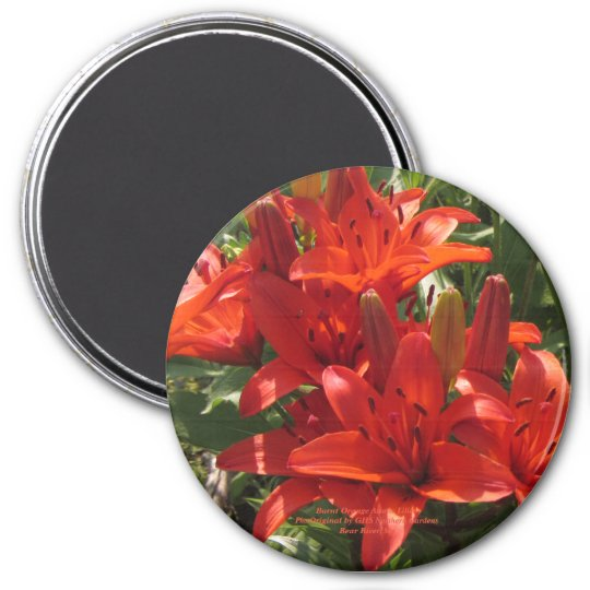 Burnt Orange Asiatic Lilies Magnet