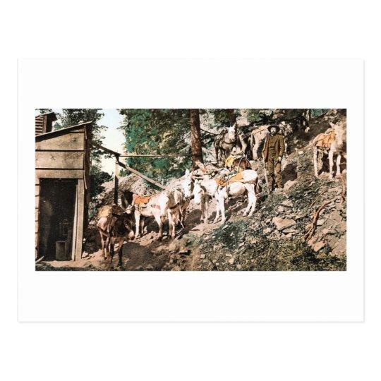 Burros at Silver Mine Colorado 1904 Postcard