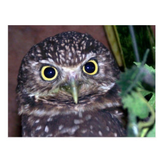 burrowing owl 2 postcard