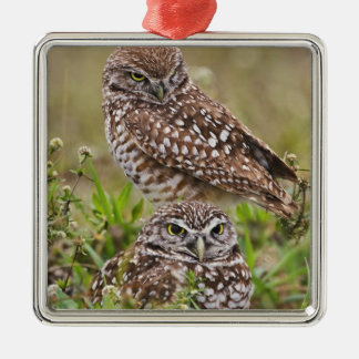 Burrowing Owl, Athene cunicularia, Cape Coral, Christmas Ornament