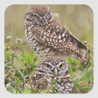 Burrowing Owl, Athene cunicularia, Cape Coral, Square Sticker