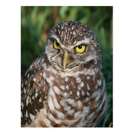 Burrowing Owl  peace and confidence Post Cards