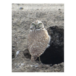 Burrowing Owl Post Cards