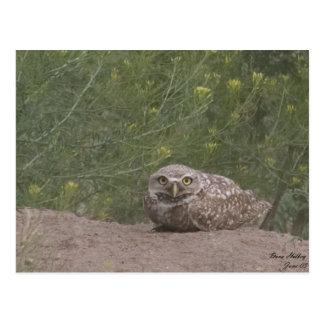 Burrowing Owl Postcard