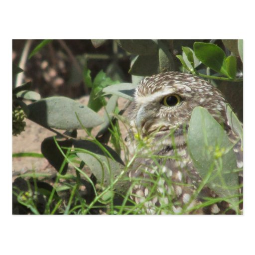 Burrowing Owl Postcards