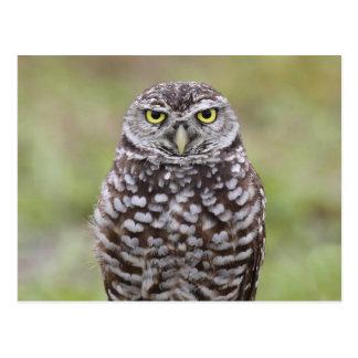 Burrowing Owl Postcards
