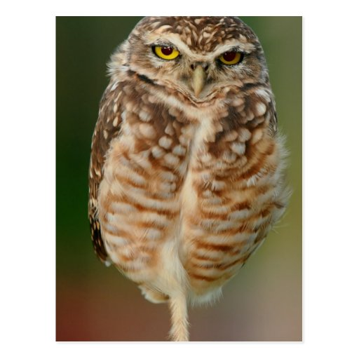 Burrowing Owl standing on one leg Postcards