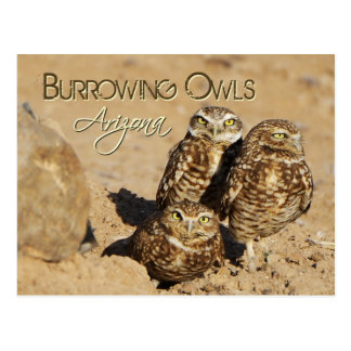 Burrowing owls, Arizona Postcard