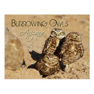 Burrowing owls, Arizona Postcard