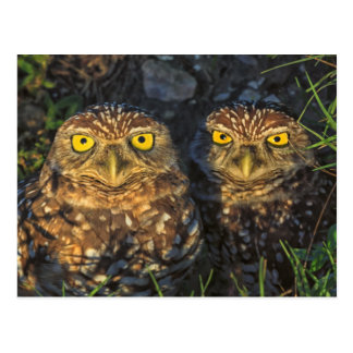 Burrowing Owls Cuddled in their Burrow Post Cards