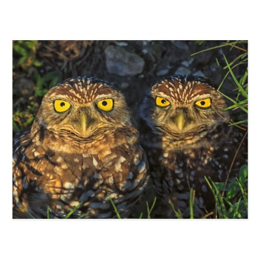 Burrowing Owls Cuddled in their Burrow Postcards