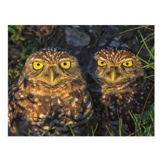 Burrowing Owls Cuddled in their Burrow Postcard