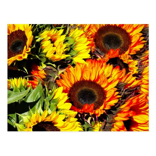 Bushel of Sunflowers Postcard