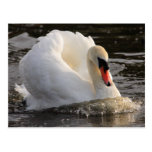 Busking Swan