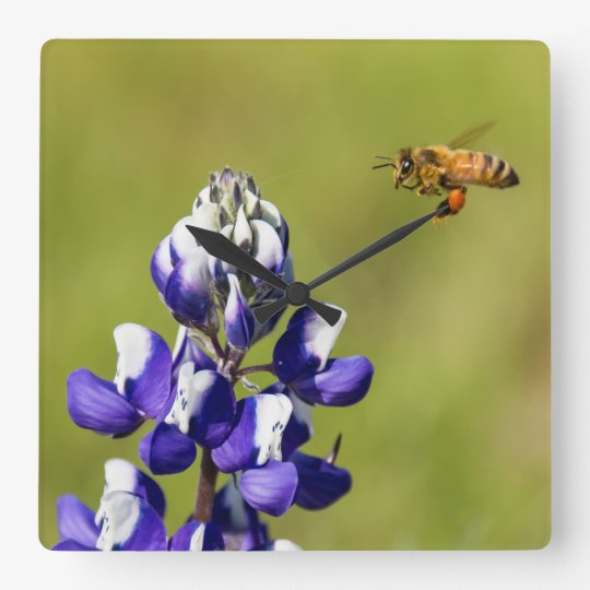 Busy Bee Contemplating a Wild Lupine Flower Square