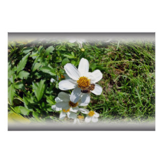 busy bee on white flower poster
