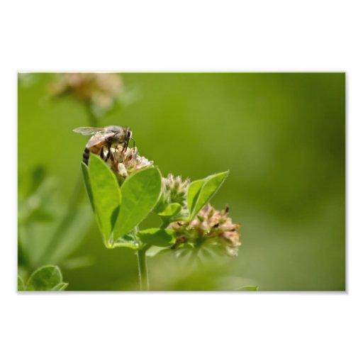 Busy Gathering Honeybee Photo Print