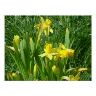 Buttercup Yellow Daffodils Poster