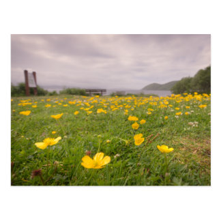 Buttercups in Scotland Postcard