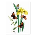 Butterflies and Yellow Iris Post Card