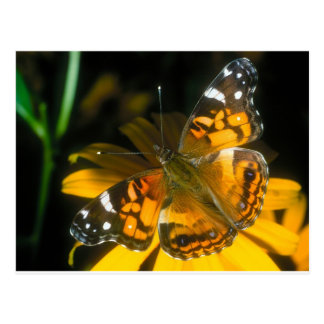 butterflies painted lady postcard