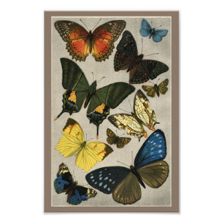 Butterflies Vintage 1904 Print Photo Print