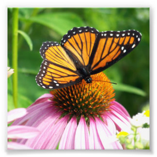Butterfly and Cone Flower Photograph