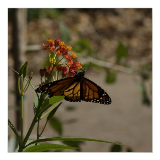 Butterfly at Botanic Garden Print