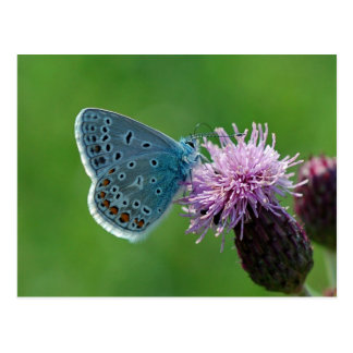 Butterfly Common Blue postcard